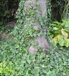 Gardeners often have a love hate relationship with English ivy. Spreading primarily through creeping roots and branches, this ground cover can create a living carpet or grow up any type of structure creating a lovely green wall of foliage. It may look nice in the garden, but when this ivy makes its way into a natural woodland area, it can quickly smother native plants.