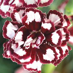 "From the Top 10 Allergy Fighting Plants"" Sweet William gets a pass on the OPALS™ scale! This dianthus 'Coconut Punch' is going in my garden this year. Red Plants, Cool Plants, Garden Plants, Flowers Perennials, Planting Flowers, Dianthus Flowers, Delphinium, Clematis, Landscape Photography"