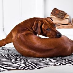 A large and muscular dog, the Rhodesian Ridgeback was not only developed as a hunter but also as a family protector.