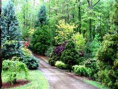 Mixed grouping of conifers and broadleaf trees. Conifers include China fir 'Glauca' , Japanese cedar 'Dense Jade', Deodara cedar 'Prostrate ...
