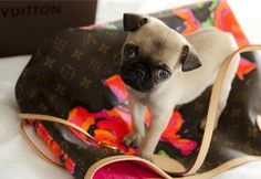 Pug  I'm going to get one for @Victoria Bergeron one day lol