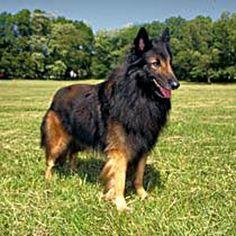 tervuren belgian shepherd..running companion for zingo!