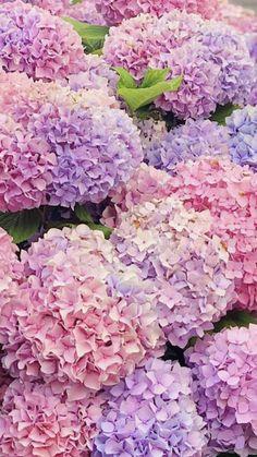 Hydrangea Landscaping, Hydrangea Garden, Hydrangea Flower, Lavender Flowers, Flowers Nature, Fresh Flowers, Spring Flowers, Flower Pots, Amazing Flowers