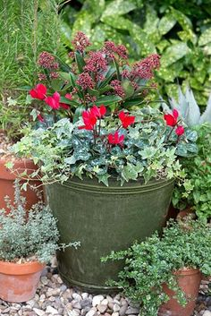 Gardening With Containers Red and green winter container with Skimmia japonica 'Rubella' Red Cyclamen and trailing Hedera - Create bountiful outdoor winter arrangements with a little help from Mother Nature. Winter Potted Plants, Winter Planter, Fall Planters, Garden Planters, Garden Beds, Winter Container Gardening, Container Gardening Vegetables, Container Plants, Autumn Garden Pots