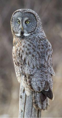 Cárabo lapón - Great Grey Owl - Bartkauz - Chouette lapone Raven Bird, Owl Bird, Pet Birds, Lappland, Strix Nebulosa, Great Grey Owl, Mule Deer, All Gods Creatures, Flora And Fauna