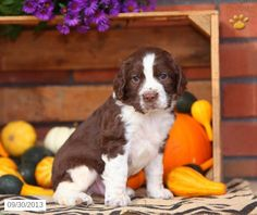 English Springer Spaniel Puppy for Sale
