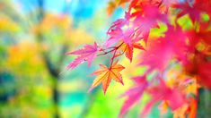 Red Autumn Leaves wallpaper with colorful background Android Wallpaper Fall, Iphone Wallpaper Herbst, Fall Wallpaper, Colorful Wallpaper, Flower Wallpaper, Nature Wallpaper, Wallpaper Backgrounds, Pink Wallpaper, Wallpapers Ipad