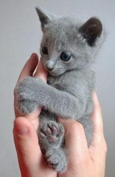 Dusty grey kitten loves sucking on his meowmy's fingers. // cute kittens // cats of instagram // instakitty