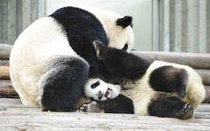 due giovani Panda che giocano #pandas #pandalovers #animals