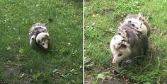 VIDÉO- Cette maman opossum avec ses petits sur son dos nous fait totalement craquer.