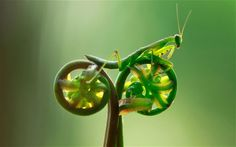 Preying Mantis on a fern-bike. Going green!