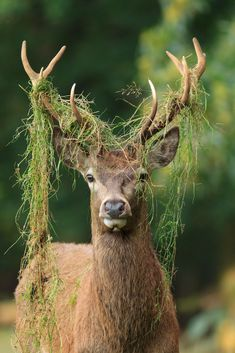 Stag - Red Deer