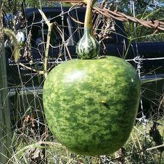 #gourds . They come in all sizes. Tennessee spinning gourd and apple gourd. #gourdnotgord #wereallygrowthemonsite #going_to_be_a_birdhouse #rareseeds #omahaponds  Neptune's Water Gardens is the premier water feature design and installation company in the #Omaha Metro area. Our naturally balanced low-maintenance ecosystem ponds work with Mother Nature not against her. We pride ourselves in creating water features that appear to have always existed in their surrounding landscape. Whether you…
