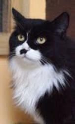 Zeal is an adoptable Domestic Long Hair-Black And White Cat in Medford, MA. Hello! My name is Zeal! I am a one to three year old very fluffy black and white kitty that is looking for my forever home! ...