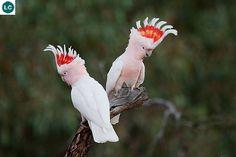 Vẹt mào thiếu tá Mitchell châu Úc | Major Mitchell's cockatoo/Leadbeater's cockatoo/Pink cockatoo (Lophochroa leadbeateri)(Cacatuidae) IUCN Red List of Threatened Species 3.1 : Least Concern (LC) | (Loài ít quan tâm)(Nhà thám hiểm châu Úc người Scotland: Sir Thomas Livingstone Mitchell (15/6/1792–5/10/1855) khi mất mang quân hàm trung tá)(Nhà điểu học người Anh: Benjamin Leadbeater (1760–1837)