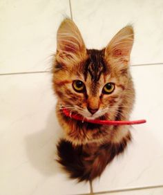 Maine coon cat!:) she's Mimi! My little beautiful cat. :)