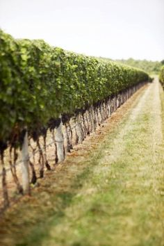 ~ Vineyard ~