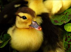 This #duckling looks so soft! | Click for more cute #punkin photos: http://www.furrytalk.com/2011/01/10-fluffy-and-cute-ducklings-lovely-photos/