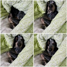 hound dogs wrapped in good bedding.