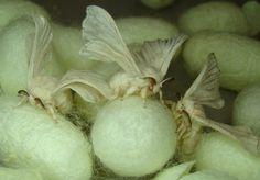遺伝子組み換え蚕が生み出すクモの糸「モンスターシルク」|WIRED.jp