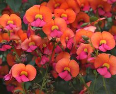 """Chorizema diversifolia  """"Climbing Flame Pea"""" gorgeous color and sweet scent."""