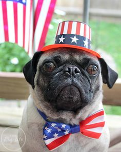 Patriotic Pugs 4th of July outfit