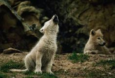 White Wolf : 15 Photos Of Adorable Howling Wolf Pups Will Make Your Day