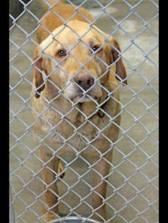 SAFE!!! 5/9: URGENT!!!!! This old man was not even on the list but we have been told he only has until 3pm to get out. 7-10 yr old male lab. Please don't let him die there! Someone go adopt him. Kennel A9 Odessa Animal Control, Tx Adoption fee $51 https://www.facebook.com/speakingupforthosewhocant/photos/a.573572332667009.1073741829.248355401855372/771690459521861/?type=1&comment_id=771716599519247&notif_t=comment_mention