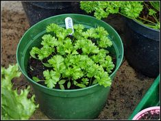 Looking to grow your herbs indoors? These are the 5 herbs that THRIVE indoors and we'll show you exactly how to plant them! Indoor Vegetable Gardening, Hydroponic Gardening, Container Gardening, Aquaponics, Parsley Plant, Oregano Plant, Growing Herbs Indoors, Growing Vegetables, Gardening For Beginners