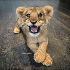 – Tia's Happy Place - Baby Animals Baby Animals Pictures, Cute Animal Pictures, Animals And Pets, Wild Animals, Cute Little Animals, Cute Funny Animals, Cute Cats, Funny Lion, Beautiful Cats