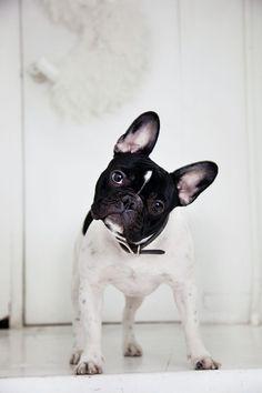 French bulldog | via Art Fashion Fate