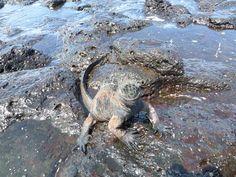 Cuando caminas por las playas de las Islas #Galápagos te puedes encontrar con estas Iguanas que salen a tu encuentro.