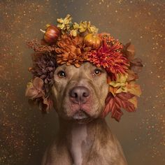 "U.S. based French photographer Sophie Gamand is still on the mission to challenge the often negative perception of Pit bulls. Since we covered her project ""Flower Power, Pit Bulls Of The Revolution"" 1,5 year ago, more than 140 shelter Pit bulls from her flowery photo series have found loving homes. Gamand also has nearly 70k followers on Instagram."