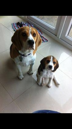 Mommy and baby beagle