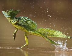 double crested basilisk lizard runs across the water