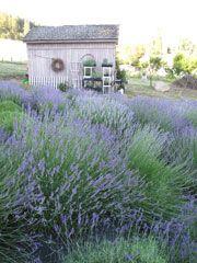 Fleur de Provence Lavender Farm