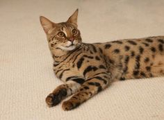 #savannah #cat Savannah cat Savannah kitten #savannah #kitten #savannahcat