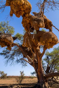Sociable Weaver Apartment Block, Kgalagadi Transfrontier Park, southern Africa (South Africa and Botswana border) Les Seychelles, Wow Photo, Chobe National Park, Unique Trees, Out Of Africa, Tree Forest, Fauna, Natural Wonders, Amazing Nature