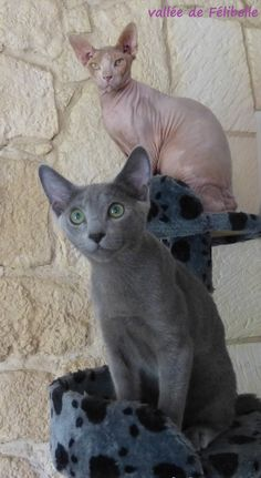 chat nu, sphynx avec chat bleu russe