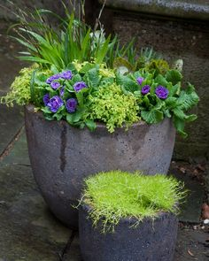 A double blue primrose peeks out among a golden selaginella in containers on the Chanticleer Terrace.