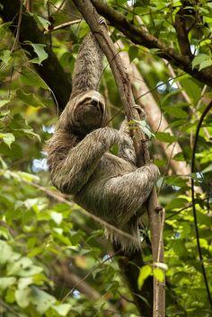Three-toed Sloth hanging onto a tree by pics721, via Flickr.    (5/7/2013)