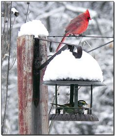 I love watching my cardinals when it snows!
