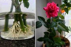 How to root a rose from a bouquet. Use natural stimulants for root formation! - The World of Plants Balcony Garden, Indoor Garden, Indoor Plants, Home And Garden, Garden Paths, Garden Landscaping, Plant Cuttings, Growing Roses, Garden Care