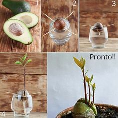Atividade plants n trees growing plants from seeds, garden l Growing Plants From Seeds, Growing Seedlings, Regrow Vegetables, Planting Vegetables, Avocado Plant, Avocado Seed, Eco Garden, Garden Plants, Tropical Landscaping