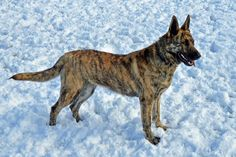 Erik and I finally found the breed of dog that we want to get when we are ready... It is called a Dutch Shepherd and we are going to go to this breeder!