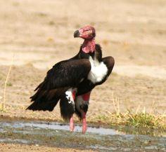 Red-headed Vulture Sarcogyps calvus - Google Search
