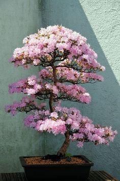 Azalea Bonsai Tree at US National Arboretum Washington, DC by mbell1975, via Flickr by Mina Lorence #bonsaitrees