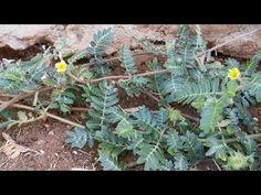 Ένα τριβόλι (Tribulus terrestris) στο δρόμο μας - YouTube Youtube, Plants, Plant, Youtubers, Youtube Movies, Planets