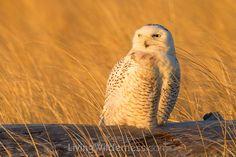 Snowy Owl. Kevin Ebi