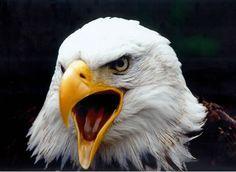Da aquila scelgo di alzare la testa e di volare con le altre aquile, dunque rifiuto di mescolarmi ai pappagalli! Esi Yankah